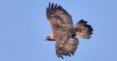 Eagle in South Uist